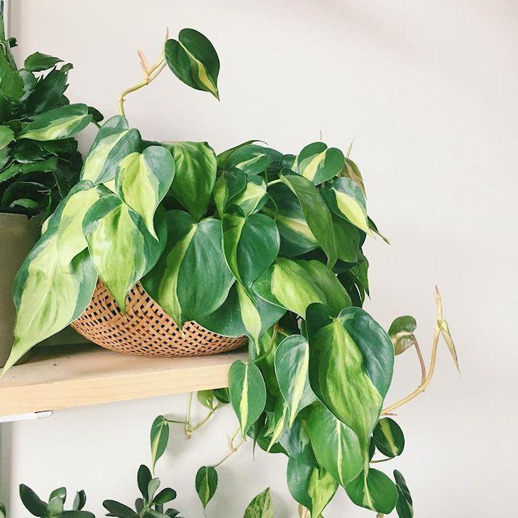 El Philodendron se adapta a zonas húmedas y requiere poco mantenimiento.